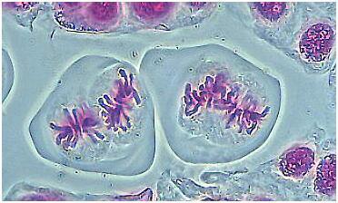 Metafase II da Meiose (dois fusos são cada um ao lado do outro).