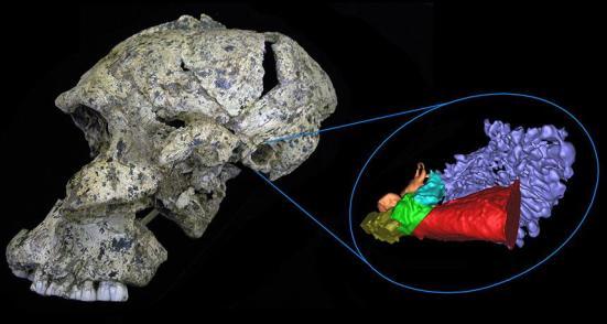 Os cientistas geraram uma reconstrução virtual 3-D da anatomia do ouvido para este crânio Paranthropus robustus e por dois outros antigos hominídeos do Sul Africano. Novas descobertas sugerem que estes hominídeos podia ouvir sons de alta freqüência necessárias para discernir certas consoantes.