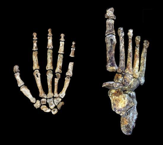 A mão Homo Naledi e pé foram adaptados exclusivamente para ambos arvorismo e andar ereto. Peter Schmid e William Harcourt-Smith | Universidade Wits. Clique par ampliar