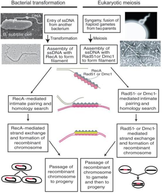 Semelhanças da conversão bacteriana e recombinação meiótica eucariotas. DNA de cadeia simples (DNAss).