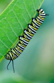 Lagarta e monarca que se alimenta de serralha