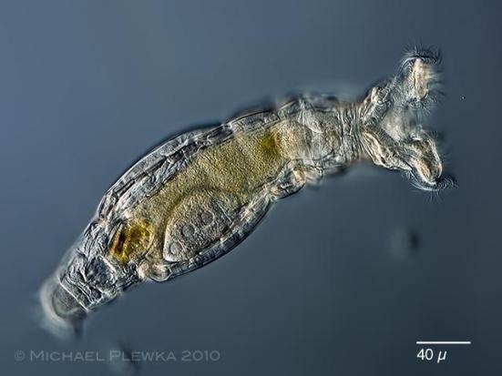 Animalia-Rotifera-Eurotatoria-Bdelloidea-Philodinidae-Philodina vorax. Espécie sem olhos.