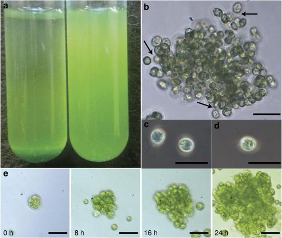 (A) multicelularização de C. reinhardtii (à esquerda) assentando no fundo mais rápido do que uma população contemporânea passando por seleção em que ficou unicelular (à direita), formando um sedimento após 20 min de liquidação (culturas mostradas são 72h de idade). (B) As células são mantidas unidas por uma matriz extracelular transparente, indicada pelas setas. (C) Propágulos moveis liberados em agrupamentos multicelulares (microscopia de contraste de fase); (D) a forma ancestral unicelular em crescimento. Nota-se que C e D são fenotipicamente idênticas. (E) formação de aglomerados a partir de uma única célula. As células formam aglomeradas depois de reprodução mitótico, sem agregação de células não relacionadas. Todas as barras da escala são de 25 μm