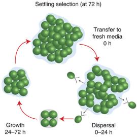 a) Ciclo de vida multicelular de C. reinhardtii. Pouco depois de se instalar a seleção e transferência para um meio fresco, seres unicelulares com motilidade dispersam longe do cluster-pai. Estas células perdem a mobilidade e desenvolverm novos clusters antes da próxima rodada se fixar.