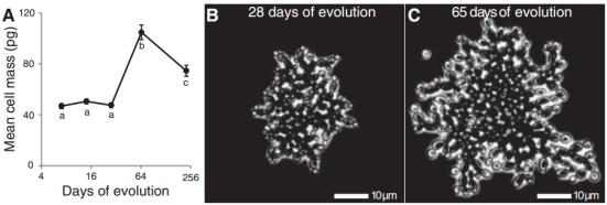 A massa de células de fungos individuais aumentou acentuadamente entre o dia 28 e dia 65. (A) A massa média de células para cada estirpe foi calculado. O grande aumento de massa dos aglomerados no dia 65 foi devido a um aumento da dimensão das células individuais entre (B) em 28 dias e (C) em 65 dias.
