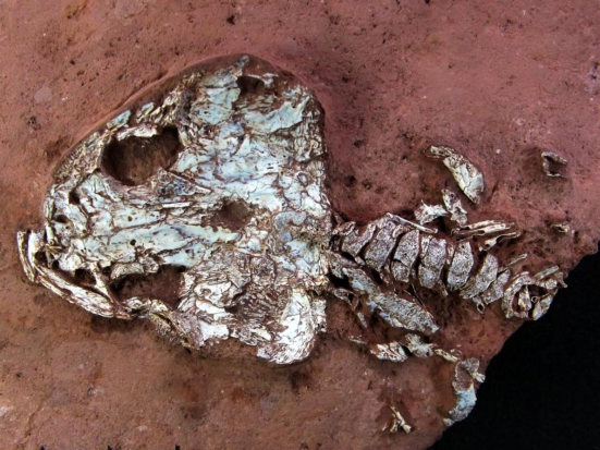 Um esqueleto parcial do recém anfíbio anneae Timonya, que viviam em lagos tropicais no que é agora nordeste do Brasil. FOTOGRAFIA DE JUAN CISNEROS