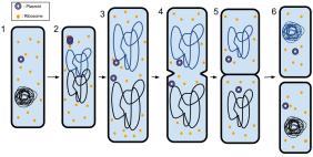 Fissão binária em um Procarioto. 1) A bactéria antes de fissão tem o DNA enrolado. 2) O DNA da bactéria é desenrolado e replicado. 3) O DNA é puxado para os pólos separados da bactéria à medida que aumenta o tamanho, se preparando para a separação. 4) O crescimento de uma nova parede de célula começa a separar a bactéria. 5) A nova parede celular desenvolve-se inteiramente, resultando na separação completa da bactéria. 6) As novas células tem seu DNA enrolado novamente em hastes circulares, e tem seus proprios ribossomos e plasmídeos; constituindo novos organismos.