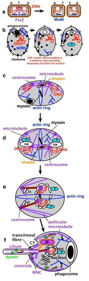 A evolução dos eucariotos por uma Posibacteria, enfatiza mudanças no DNA causadas pela segregação e internalização de anexos de DNA à membrana. (A). Um anel de FtsZ entre os DNAs das fitas filhas terminais (T) que divide as bactérias; MreB (azul)é uma apredei de mureina que controla a forma da célula (marrom). (B). Efeitos perturbadores da fagotrofia. Esquerda: glicoproteínas flexíveis (amarelo) substituídas por mureina, permitindo MreB se tornar actina (azul) e realizar uma potencial fagocitose que internalizou anexos de DNA à membrana (centro); a evolução da vesícula revestida e fusão com a membrana plasmática após perda de revestimento formou endomembranas permanentes (EM: precursor do Retículo endoplasmatico, NE: velope nuiclear; Golgi, lisossomos; peroxissomos (P) separados mais cedo) interrompendo a segregação DNA bacteriano. (C). Origem hipotética de uma mitose simples em uma pré-carioto onde duplicações de genes evoluíram em microtúbulos FtsZ estáveis e centrômeros γ-contendo tubulina ainda ligada à superfície da membrana. (D). Acidentes na duplicação do centrossomo e internalização membrana fagotrófica gerou um pré-carioto mais complexo em que endomembranas estáveis diferenciadas em peroxissomas (P) e proto-endomembranas (EM, isto é, os antepassados de Retítculo endoplasmático e complexo de Golgi), tendo alguns associados com o centrossomos internalizadas e DNA; outros centrossomos permaneceram na superfície da célula estabilizando-a; o anel de actina no local controla a citocinese. Em última análise, o centrossomo de superfície gerado pelos microtúbulos peliculares, microtúbulos do centríolo, e cilios do eucarioto ancestral; MNC associada ao ret. Endoplasmático e funso intracelular. (E). O primeiro eucariota. (F). Adicionando poro nuclear, mitocôndrias, cílios, linearização dos cromossomos e evolução do cinetocóro formou o eucarioto ancestral, mostrado no G1 do ciclo celular; a ingestão bacteriana foi suportada através de um microtubulo chamado citostoma (