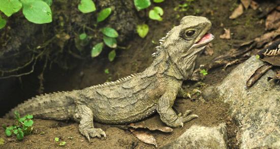 Na profunda evolução da tuatara, os adultos machos provavelmente perderam seu falo ancestral – uma pista para a antiga história do pênis.