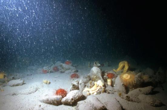 Comunidades bentônicas na Antártica: Uma característica única destas comunidades é que mesmo em soft-bottoms e sob alta sedimentação, que pode ser dominado por filtradores epibenthic. Esta imagem é antes de eles mostraram uma mudança súbita causada pelo aumento da sedimentação. (Crédito: Ricardo Sahade)