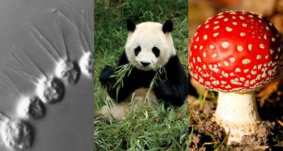 estranho relações Pessoas, pandas, e até mesmo cogumelos poleiro como primos mais próximos dos coanoflagelados unicelulares do que para outros organismos multicelulares.