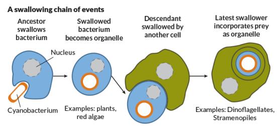 Engolindo outro organismo e transformá-lo em uma organela tem sido importante na história de vida complexa. Mesmo engulfers obter-se engolfado por vezes. J. Hirshfeld; Fonte: A. Worden et al / Ciência 2015
