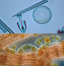 As diatomáceas (topo) com tripas Glasslike pertencem ao supergrupo Stramenopile. Eles vêm em diversas formas, incluindo a diatomácea fanlike (parte inferior) que vive em algas vermelhas, que são archaeplastids. Da parte superior: Frank Fox/Wikimedia commons (cc by-sa 3.0 de); © Wenn ltd/Alamy