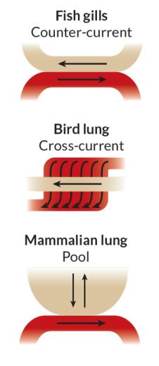 Na maioria dos peixes, água do mar aerada de entrada (tan) flui com brânquias na direção oposta a partir de sangue (vermelho) que flui ao lado dele. Isso funciona bem para a extracção de oxigénio a partir de um fluido de realização baixos níveis de gás. A maioria dos pulmões de forma eficiente aves extrair oxigénio do ar (tan) à razão de mais de um ângulo de vaso sanguíneo. Fonte: C.G. Produtor / Fisiologia 2015
