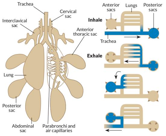 Em um pulmão típico pássaro (à esquerda), sacos de ar balão fora dos lados das zonas centrais onde os vasos sanguíneos trocam gases com o ar fresco de entrada. Um esquema (à direita) mostra como ar (azul) flui de um caminho através da zona de troca gasosa, apesar fluxo in-and-out outros lugares. Inalado divisões de fluxo de ar, com algum fluxo em tubos magros para a troca gasosa com entrelaçando os vasos sanguíneos e alguns sacos traseiros que entram. Os sacos esprema seu ar dentro dos tubos magros, que, em seguida, liberar o ar pobre em oxigênio em sacos de ar para a frente, que empurram o ar utilizado para fora através da traquéia.