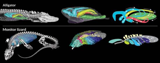 pulmões de um jacaré americano tem um fluxo de ar mais birdlike do que os biólogos imaginavam, assim como o lagarto monitor de savana (linha inferior). O ar flui duas maneiras na traqueia, mas mais profundamente no pulmão, segue-se um caminho de ida (painéis da direita). Fonte: Alligator, from left: c.g. farmer and kent sanders/univ. of utah; e. otwell. lizard: e.r. schachner et al/nature 2013