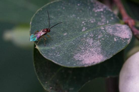 A vespa parasita, Utetes canaliculatus, em um arbusto snowberry, em busca de seu hospedeiro Rhagoletis voar. Foto: Hannes Schuler