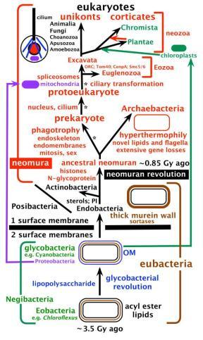 A árvore da vida e as principais etapas na evolução celular. Archaebacteria são irmãs ed eucariotos e, ao contrário das suposições generalizadas, o mais novo filo bacteriano. Esta configuração de árvore, juntamente com perdas extensivas de propriedades de Posibacteria pelas arqueobactérias ancestrais, explicam (sem transferência lateral de genes) como eucariotas possuem uma combinação única de propriedades agora vista em arqueobactérias, Posibacteria e α-proteobactérias. As origens eucariotas em três etapas indicadas por asteriscos, imediatamente seguido da divergência dos precursores de arqueobactérias e eucariotas do Neomurano ancestral. Este antepassado surgiu a partir de uma haste Posibacteria actinobacterial por um processo evolutivo de organização bacteriano (Revolução neomuran). Nela, glicoproteínas foram substituídas por mureinas; ribossomos evoluiram um domínio de reconhecimento de sinal; histonas foram substituídas pela DNA-girase, mudando radicalmente a replicação do DNA, reparo e enzimas de transcrição. O Eukarya representada uma fase inicial hipotética após a origem do núcleo, mitocôndria, cílio e esqueleto microtubular que antes eram distinto anterior e posterior nos cílios e na transformação do centríolo e ciliosque evoluíram (provavelmente no eucariota ancestral). Chromista foram recentemente expandidos e incluiram não só os grupos originais Heterokonta, Cryptista e Haptophyta, mas também Alveolata, Rhizaria e Heliozoa, deixando o nome Chromalveolata agora desnecessário. Excavata agora exclui Euglenozoa e compreende apenas três filos: Percolozoa ancestralmente aeróbios, Loukozoa e o Metamonada ancestralmente anaeróbia (por exemplo, Giardia, Trichomonas), que evoluíram de um Loukozoa relacionados aeróbico (Malawimonas).