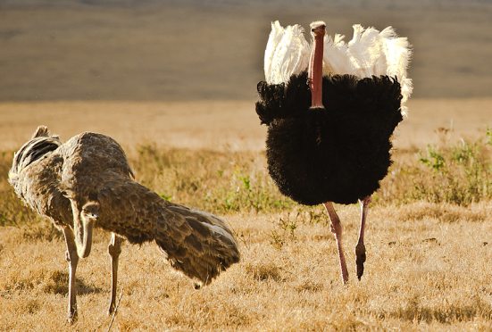 Avestruz macho (Struthio camelus) é uma ave não voadora (ratita), originária da África. Na imagem vemos um macho (preto com asas brancas) usando suas asas vestigiais como display no comportamento de côrte a uma fêmea (acinzentada), demonstrando que um órgão vestigial não precisa necessariamente ser um órgão sem função. Órgãos vestigiais podem ser cooptados, recrutados, exaptados a novas funções.