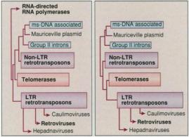 Uma árvore filogenética de retroelementos. A árvore no painel da esquerda foi feita usando RNA diretamente de RNAs polimerases. A árvore no painel da direita tem a mesma topologia, mas as sequências de RNA diretamente de RNAs polimerases são removidas e os retroelementos procariotos-mitocondriais formam a raiz de retroelementos eucarióticos. O comprimento de cada caixa corresponde à divergência dentro desse grupo. As sequências de aminoácidos dos sete domínios comuns a todas as transcriptases reversas foram usadas para gerar a árvore. Setas na parte inferior indicam as três origens independentes de vírus de retrotransposons (Eickbush, 1997).
