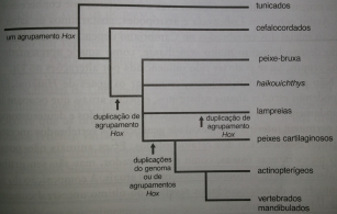 Hox gene origem