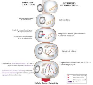 """Representação esquemática do possível cenário evolutivo para a origem dos cromossomos eucariontes. O esquema mostra a origem dos íntrons spliceossomais, a origem do núcleo (Koonin 2006; Martin e Koonin 2006) e também a origem proposta do """"proto-telômero"""" ancestral com nivelamento e segregação de propriedades. O genoma eubacterial aparece em azul e o genoma archaebacterial em laranja."""