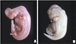 Em A e B mostra-se embriões de golfinho-pintado, Stenella attenuata, sendo que em (A) vemos um embrião de 24 dias e (B) com 48 dias de gestação para mostrar os brotos dos membros anteriores bem desenvolvidos (f; observe o primórdio digital), e um bem desenvolvido broto de membro posterior evidenciado pela letra (h). No 24 dia de gestação (A), os brotos dos membros posteriores começam a regredir. Temos um exemplo de rudimento