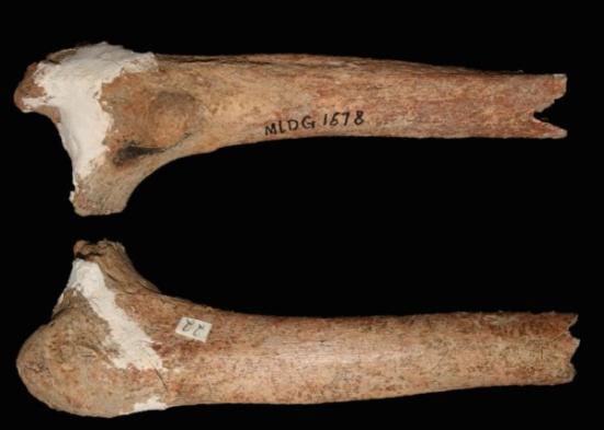 Este é um 14 mil anos de idade osso da coxa pré-moderno recentemente descrito do povo Red Deer Caverna do sudoeste da China. Crédito: Crédito: Darren Curnoe & Ji Xueping
