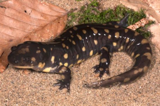 Cientistas usam a salamandra tigre para investigar as tensões que os primeiros tetrápodes experientes como eles se mudaram de água para a terra. Crédito: Todd Pierson