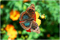 Família: Ninfalídeos/Nymphalinae Plantas Hospedeiras: Gervão (Stachytarpheta cayennensis) e Mangue-branco (Laguncularia racemosa). Particularidades: A Junonia evarete gosta de pequenas flores silvestres, de onde tira seu sustento. Gosta de pousar sobre pedras, e em trilhas com as asas abertas. O Macho tem a asa posterior azulada. São parecidas com a espécie Junonia coenia.