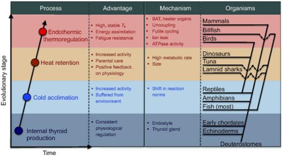 Resumo do processo evolutivo proposto por Alexander G. Little, Frank Seebacher (2014) onde mediada por tiróide que levou a endotermia. A trajetória evolutiva da função hormônio da tireóide que levou à evolução da endotermia (painel esquerdo). Ao longo do tempo evolutivo, várias vantagens seletivas (segundo painel da esquerda) levou à internalização da produção de hormônio da tireóide, aclimatação frio, retenção de calor e termorregulação endotérmico (painel esquerdo). Diferentes mecanismos controlados por tireóide (segundo painel da direita) estão na base das respostas evolutivas em diferentes organismos (painel direito). As relações filogenéticas no painel direito são apenas aproximados e os organismos incluídos não são abrangentes. Tb, a temperatura do corpo.