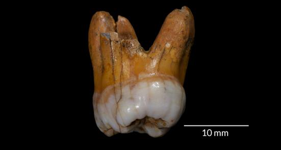 Raízes dos Denisovanos - DNA de dois dentes descobertos na Sibéria, incluindo este molar robusto, sugere que os parentes da Idade da Pedra dos Neandertal, chamados Denisovanos, habitaram essa região por dezenas de milhares de anos.