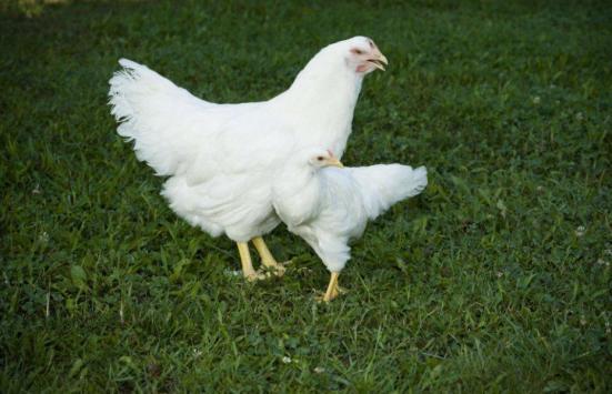 Uma abordagem de acoplamento selectivo no seio da população que começou em 1957 resultou em um excesso de dez vezes diferença no tamanho das galinhas. Crédito: Virginia Tech / John McCormick