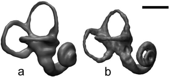 O tamanho dos canais semicirculares esta correlacionado com a massa corporal. Neanderthais apresentam canais semicirculares menores que o de seres humanos modernos.