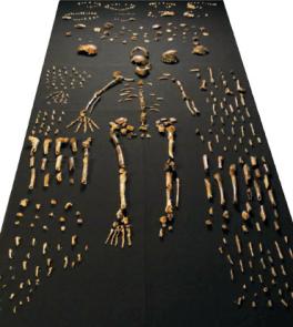 Ossos descobertos recentemente, de mais de 15 indivíduos foram atribuídos a uma espécie nova, mas ainda debatidas, Naledi Homo. L.E. BERGER ET AL / Elife 2015