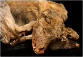 A múmia de um cão da cultura Chiribaya, que data entre 1100 e 1300 anos esta em exposição no museu El Algarrobal, perto do porto de Ilo, no sul do Peru. Os cães, ajudavam no pastoreio de lhamas na pré-cultura hispânica que antecedeu os incas. O animal recebeu tratamento especial quando morreu. Seus corpos mumificados foram dados enterrados com alimentos e cobertores para mantê-los aquecidos em uma vida após a morte.