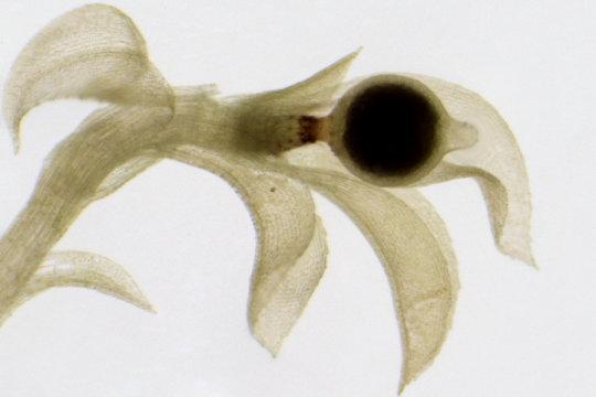 Physcomitrella patens plântula musgo com uma cápsula de esporos. Crédito: Nelly Horst, Plant Biotechnology Freiburg