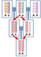 o filhote é homozigoto AA para a mesma molécula de DNA (representada em vermelho) que estava presente no ancestral comum de seus pais. Este indivíduo também poderia ter herdado as duas cópias em verde deste mesmo ancestral comum, se tornando aa.