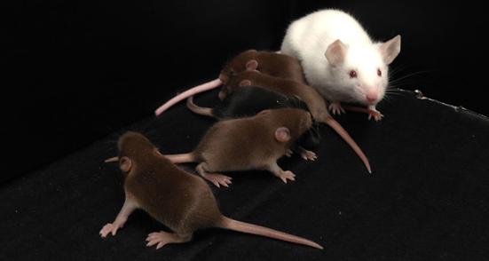 MACHO FEITO Este rato do sexo masculino (branco) não tem cromossoma Y, mas foi capaz de filhotes pai (marrom) quando os cientistas injetaram o esperma em óvulos imaturos. Os investigadores fizeram o rato macho através da manipulação de genes em outros cromossomos.