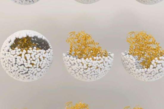Ilustração que mostra a libertação de NiFe-hidrogenase de dentro do escudo de vírus, ou 'cápside', de bacteriófago P22. Crédito: Universidade de Indiana