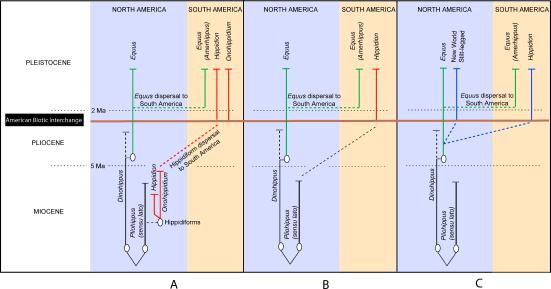 Representação esquemática do Norte e América do Sul Equid Taxonomia sobreposto a uma escala de tempo de acordo com Paleontológico (A, B) e dados moleculares (C) (A) representa [13] vista das origens hippidiform de MacFadden de um pliohippine, diversificando em dois géneros, Hippidion e Onohippidium, na América do Norte durante o Mioceno. (B) mostra Alberdi e Prado de [14,15] vista da hippidiforms como descendentes de um pliohippine durante o Mioceno; o único género, Hippidion, origina somente após a dispersão na América do Sul (eles não reconhecem o Onohippidium género como válido [15]). (C) representa os resultados dos dados moleculares apresentadas no presente estudo; ele mostra Hippidion como originários durante o Plioceno, c. 3-3,5 Ma atrás. O NWSL é possivelmente uma espécie irmã do Hippidion.