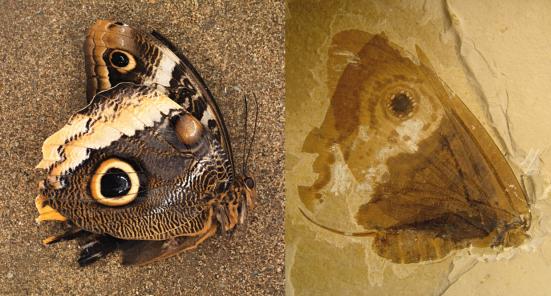 Uma foto do moderno da borboleta da coruja (Caligo Memnon) mostrado abaixo um fossilizado lacewing Kalligrammatid (Oregramma illecebrosus) mostra algumas das características convergentes evoluíram de forma independente pelos dois insetos relacionados com o distante, incluindo manchas ocelares asa e escalas da asa.