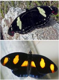Acima a fêmea de Catonephele numilia penthea (Nymphalidae) e abaixo o macho