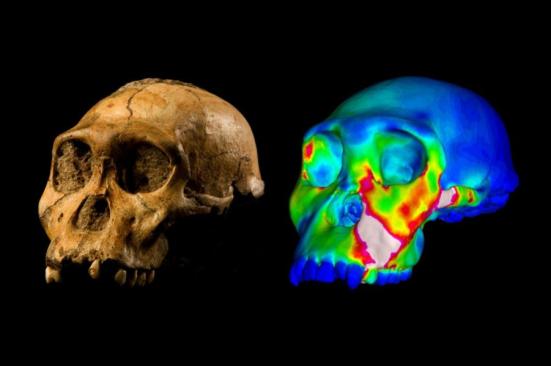 """O crânio fossilizado de Australopithecus sediba espécime MH1 e um modelo de elementos finitos de suas estirpes crânio que descreve experimentadas durante uma mordida simuladas em seus pré-molares. cores """"quentes"""" indicam regiões de alta tensão, cores """"cool"""" indicam regiões de baixa tensão. Crédito: WUSTL GRÁFICO: Imagem de MH1 por Brett Eloff uma cortesia da Lee Berger e da Universidade de Witwatersrand."""