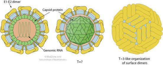 Envolvido, esférica, cerca de 50 nm de diâmetro. Viriões maduros contêm três proteínas da membrana codificadas por vírus (Erns, E1 e E2), além de a proteína do capsídeo.
