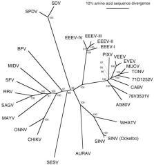 Árvore filogenética não enraizadas de espécies de alfav�us gerada a partir de sequências completas poliproteína de aminoácidos estruturais usando o programa de neighbor-joining (61). Vírus abreviaturas são encontrados na Tabela 1, nota 6. Os números referem-se a inicializar os valores definidos para clados pelo nó indicado.