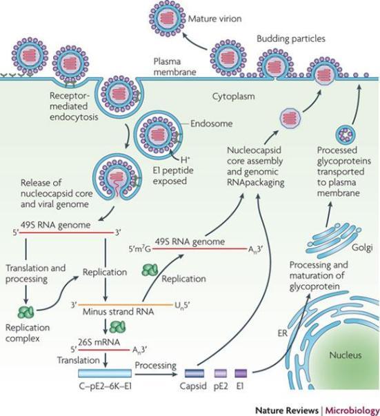 O ciclo de vida Alphavirus está a ser representado na figura. Alphaviruses entrar nas células alvo por endocytosis33. Alguns receptores (por exemplo, dendrítica específica de células-ICAM3 agarrando não-integrina 1 (DC-SIGN, também conhecido como CD209), fígado e linfonodos-SIGN (L-SIGN, também conhecido como CLEC4M), sulfato de heparan, laminina e integrinas) têm sido implicados neste processo, mas seus papéis requeridos não foram firmemente established33. Após endocitose, o meio ácido do endossoma desencadeia mudanças conformacionais no envelope viral peptide90 que expõem a E1, 135, que medeia a fusão da membrana do vírus na célula-hospedeiro. Isto permite a libertação citoplasmática de o núcleo e a libertação dos genome6 virais, 29, 136. Os dois precursores de proteínas não-estruturais (PTS), são convertidos a partir do ARNm viral, e a clivagem destes precursores Gera-NSP1 NSP4. NSP1 está envolvida na síntese da cadeia negativa do RNA viral e tampar RNA tem properties33, 137, nsP2 exibe actividades RNA helicase, trifosfatase RNA e proteinase e está envolvido no shut-off de transcription138 célula hospedeira, NSP3 faz parte da replicase NSP4 unidade e o RNA viral é polymerase33. Estas proteínas montar para formar o complexo de replicação viral, que sintetiza um de comprimento total de ARN de cadeia negativa intermediário. Isto serve como molde para a síntese de ambos os subgenómicos (26S) e (49S) ARNs genómicos. O RNA subgenómico dirige a expressão do precursor de poliproteina C-pE2-6K-E1 que é processada por uma protease serina autoproteolica. A cápside (C) é libertado, e as glicoproteínas PE2 e E1 são geradas por processamento adicional. pE2 e E1 associado do Golgi e são exportados para a membrana plasmática, pE2 Onde é clivada em E2 (que está envolvida na ligação ao receptor) e E3 (que medeia dobragem adequada de pE2 e sua posterior associação com E1). montagem viral é promovida pela ligação do nucleocapsídeo viral para o ARN viral e o recrutamento das glicopro
