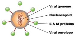 estrutura de vírus da dengue O vírus de dengue tem uma forma aproximadamente esférica. Dentro do vírus é a nucleocápside, que é feita do genoma viral e proteínas C. A nucleocápside está rodeado por uma membrana chamado de envelope viral, uma bicamada lipídica que é feita a partir do hospedeiro. Embutido no envelope viral são proteínas E e M que se estendem através da bicamada lipídica. Estas proteínas formam uma camada exterior protectora que controla a entrada do vírus nas células humanas. © 2011 Nature Education