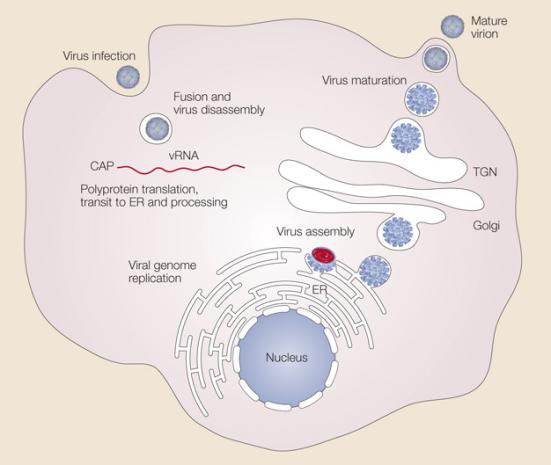 a replicação do vírus Dengue - O vírus da dengue atribui à superfície de uma célula hospedeira e entra na célula por um processo chamado endocitose. Uma vez profundamente no interior da célula, o vírus funde-se com a membrana endossomal e é libertado para o citoplasma. A partícula de vírus vem à parte, libertando o genoma viral. O ARN viral (ARNm) é traduzido num único polipéptido que é cortada em dez proteínas, e o genoma viral é replicado. montagem vírus ocorre na superfície do retículo endoplasmático (ER) quando as proteínas estruturais e ARN recém-sintetizado a partir do broto para ER. As partículas virais imaturas são transportados através da rede trans-Golgi (TGN), onde amadurecem e converter a sua forma infecciosa. Os vírus maduros são então liberados da célula e pode ir para infectar outras células.