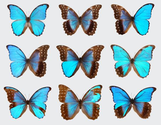 As duas primeiras borboletas neste visor mostrar um macho normal e feminino. Todos os outros são gynandromorphs, revelando uma mistura de padronização masculino e feminino. Imagem por Nipam Patel